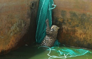 Спасение леопарда, упавшего в резервуар с водой
