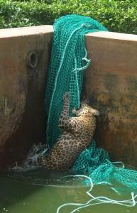 Спасение леопарда неудачника, упавшего в резервуар с водой
