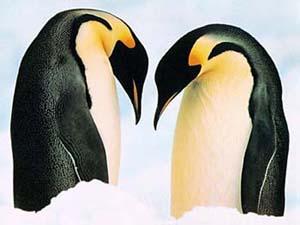 Пингвинам стыдно