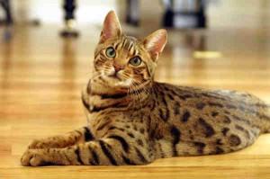 От 800 до 3000 долларов нужно будет отдать за бенгальскую домашнюю кошку