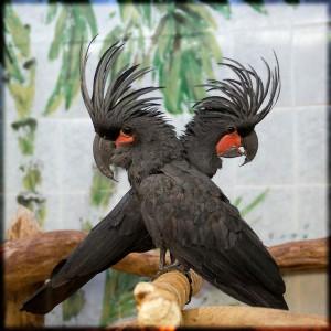 пальмовый черный какаду