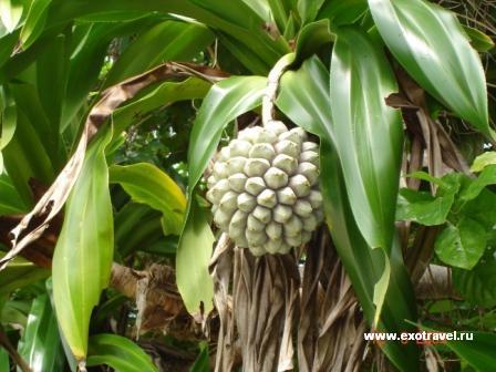 Панданус, или дикий ананас