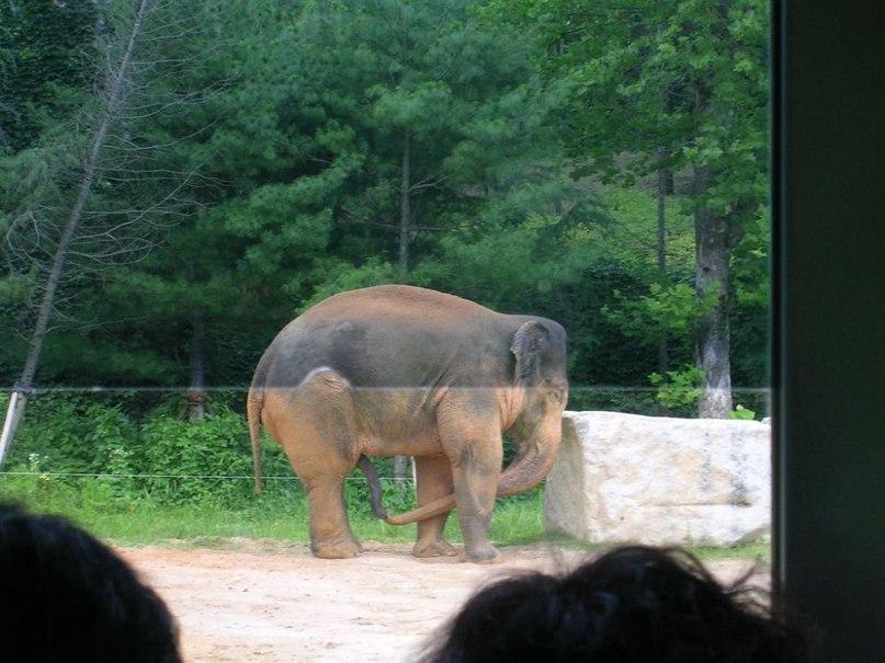 Слон ебёт слониху