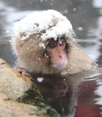 снежную макаку