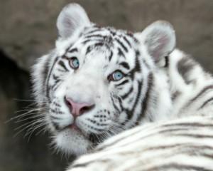 тигра-альбиноса