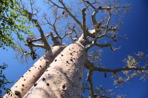 Красива аллея баобабов
