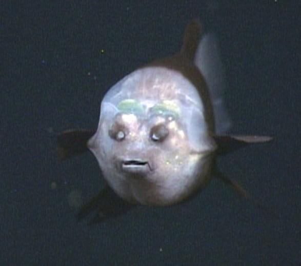 рыба с прозрачной головой, или малоротая макропинна