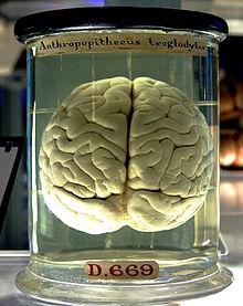 Любопытные факты о мозге