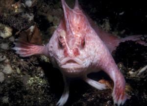 Розовая рыба-лопата, или рыба-ходун