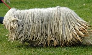 комондор, или венгерская овчарка