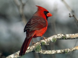 красного кардинала