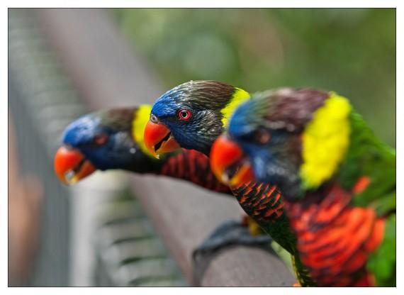 лориевых попугаев