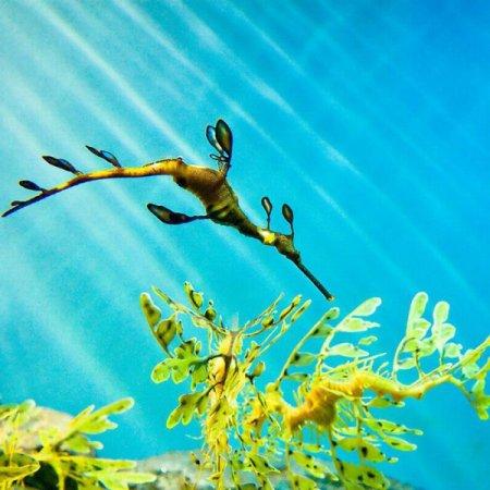 лиственного морского дракона, или морского пегаса
