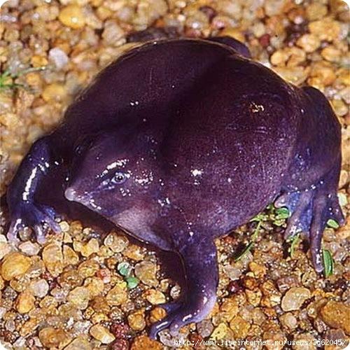 лиловая лягушка