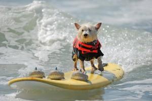 Прошел конкурс собак-серфингистов