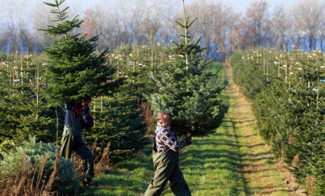 Ученые работают над «совершенной» елкой
