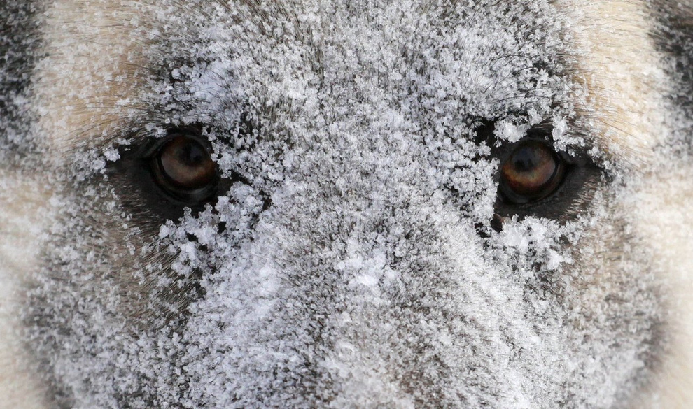 A dog covered with hoarfrost and snow looks on during a snowfall outside Krasnoyarsk