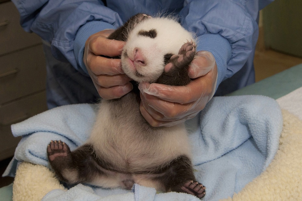 Handout picture showing a 5-week-old giant panda cub
