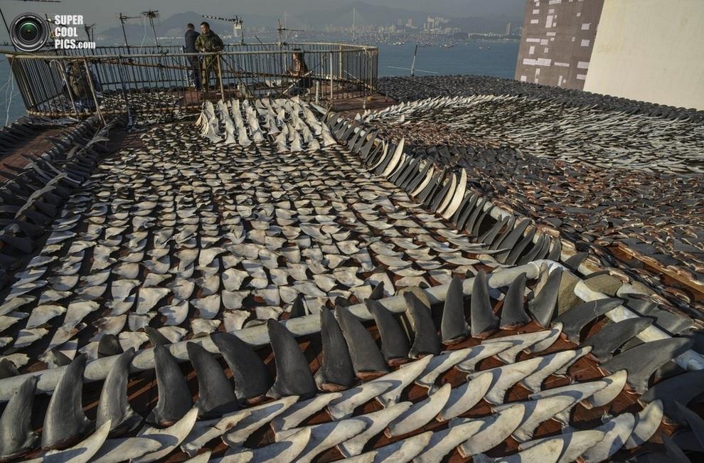 Вяление акульих плавников на крыше завода в Гонконге