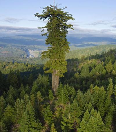 Дерево Мендосино