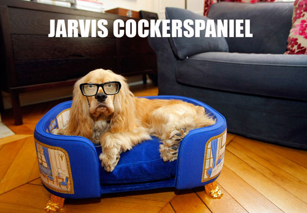jarvis-cockerspaniel-2a