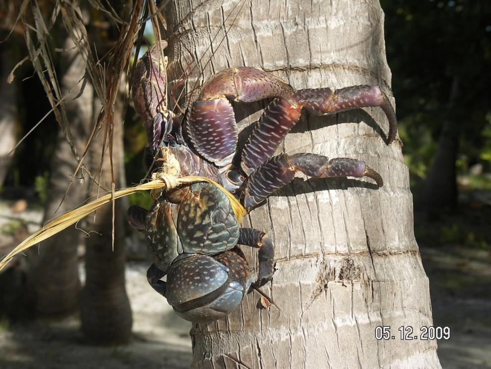 Coconutcrab13
