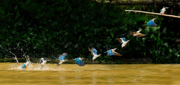 White Collared Kingfisher diving out of the water