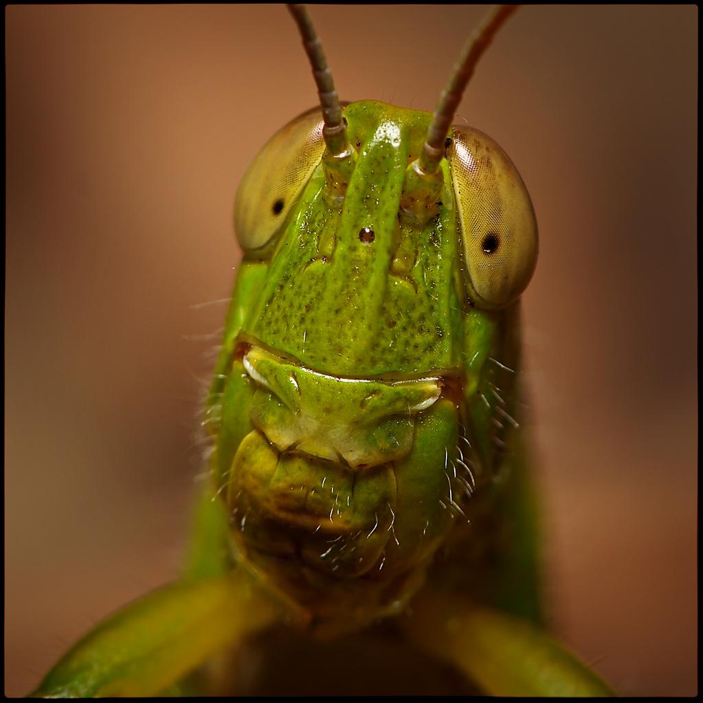 grasshopper_18