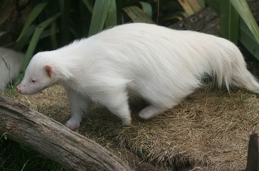 albinos (18)