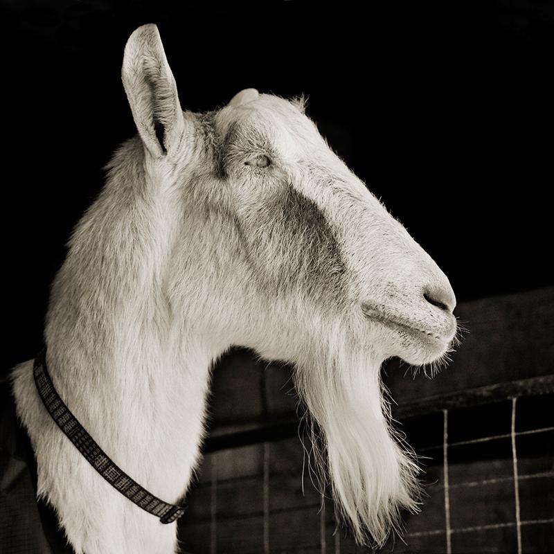 Abe, Alpine Goat, Age 21