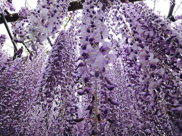 kawachi-fuji-garden-japan-w