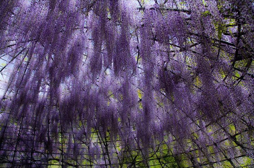 wisteria-flower-tunnel-kawachi-fuji-garden-japan-4