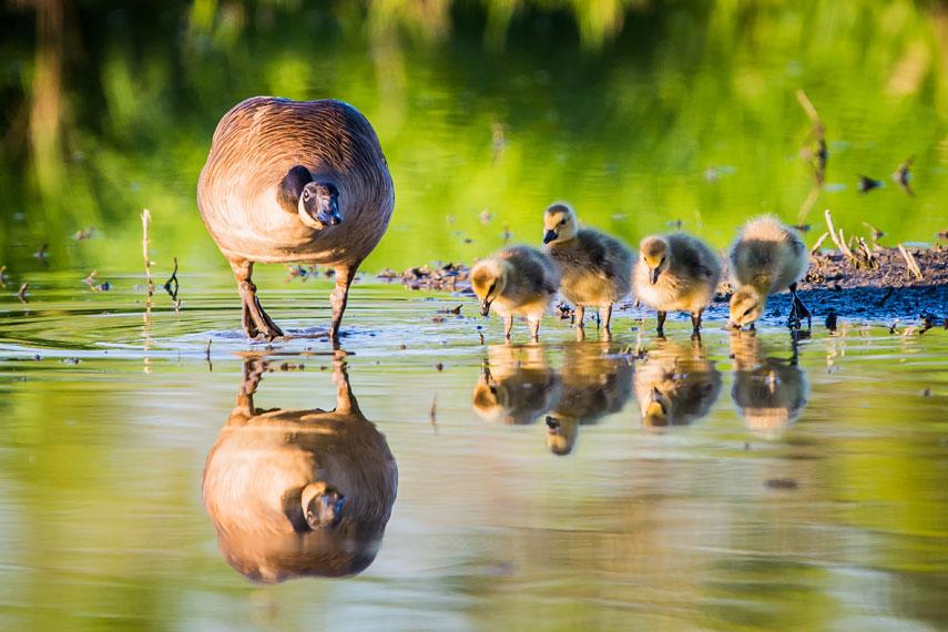 Geese-goslings