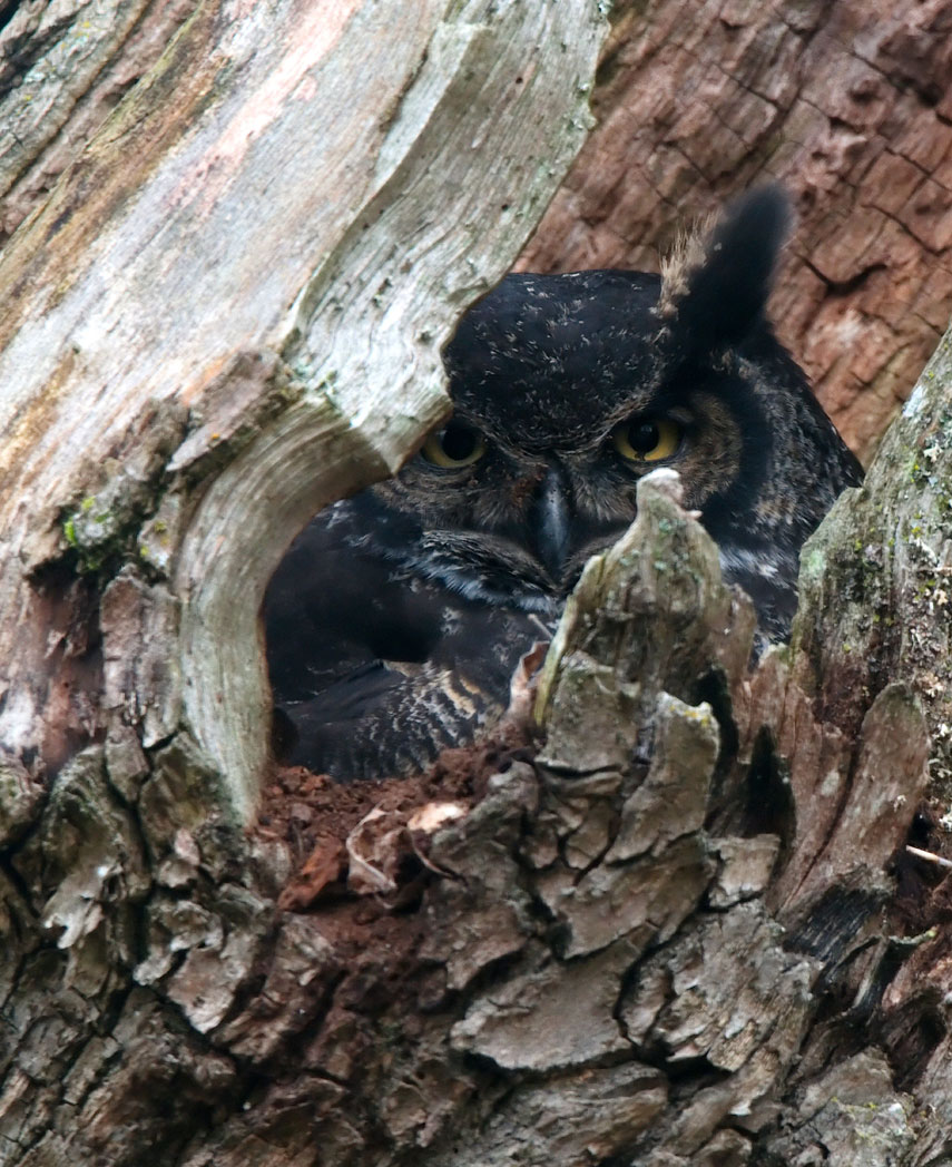 Great-Horned-Owl-Tree