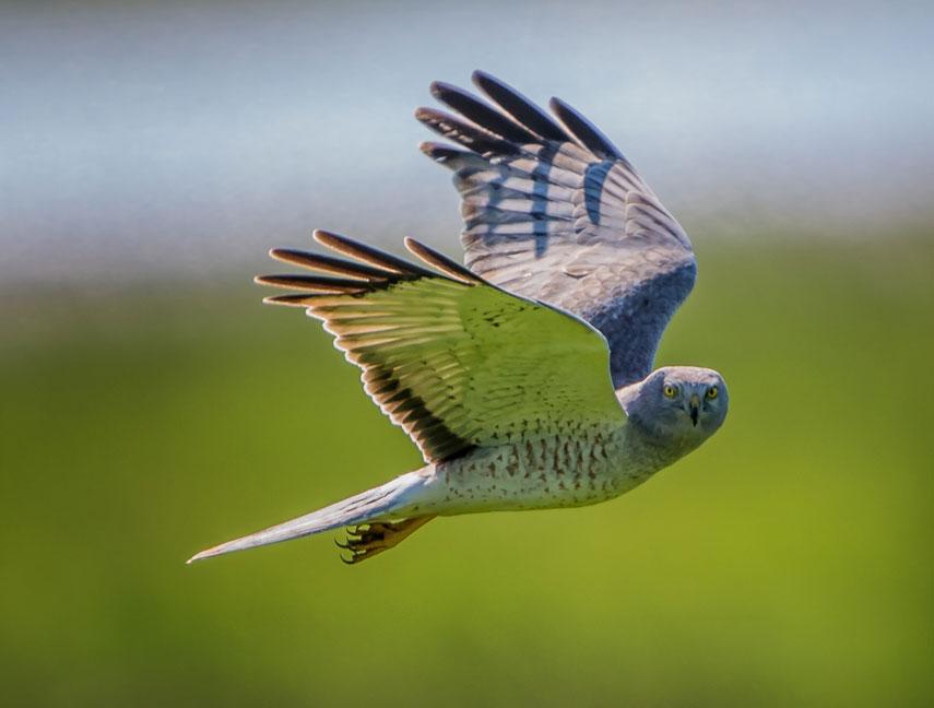 Harrier-male