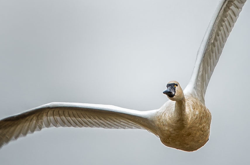 Swan_0