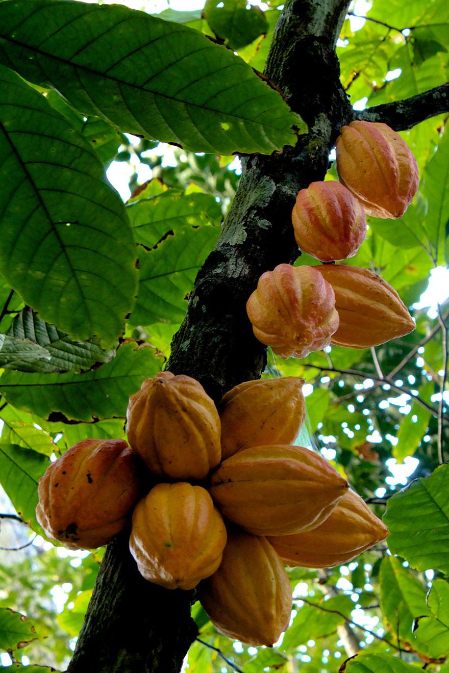 Плод шоколадного дерева это