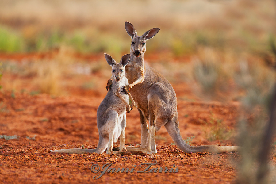 A female red kangaroo holds her juvenile joey while he reaches up for her