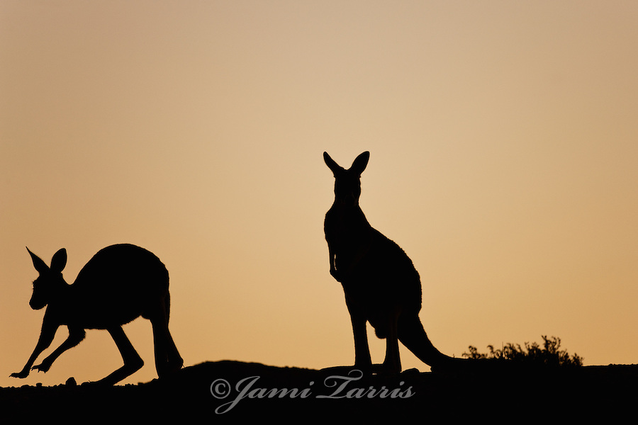 Silhouette of red kangaroo hopping against a golden sky
