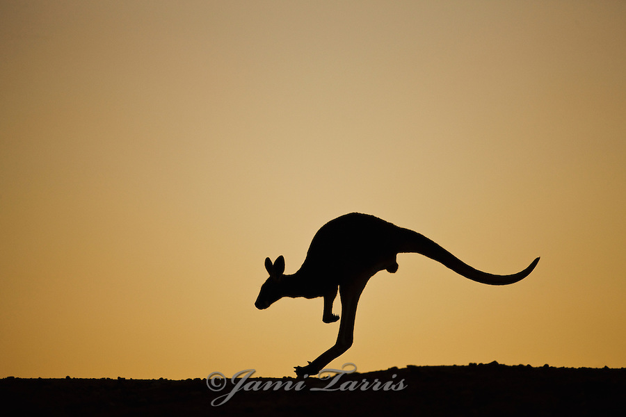 Silhouette of red kangaroo hopping on ridge after sunset