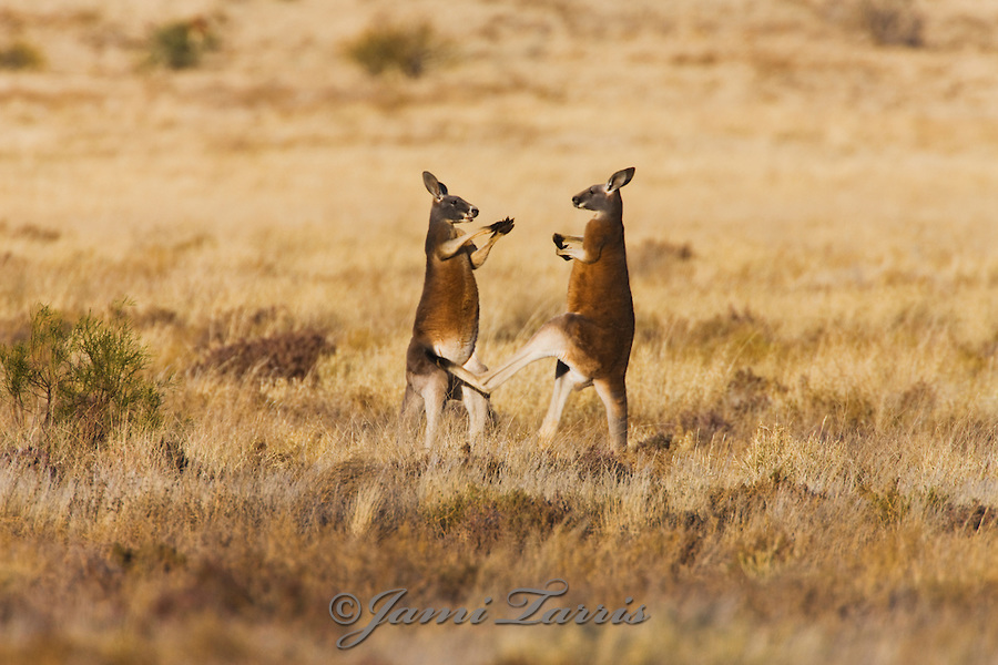 Two male red kangaroos play fighting and kicking with their back legs