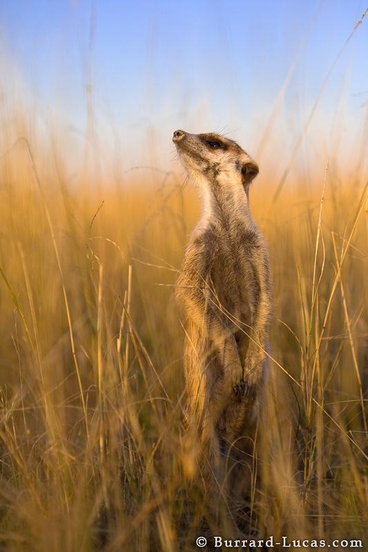 Meerkat Scanning