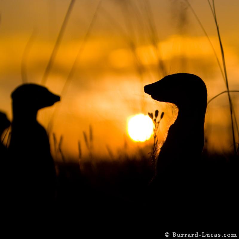 Silhouetted Meerkats