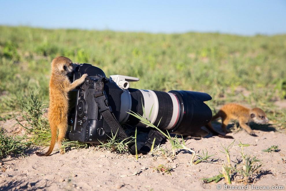 smelie-surikati-10