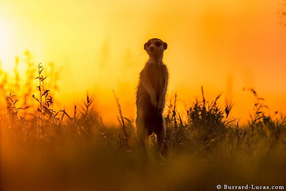 smelie-surikati-11