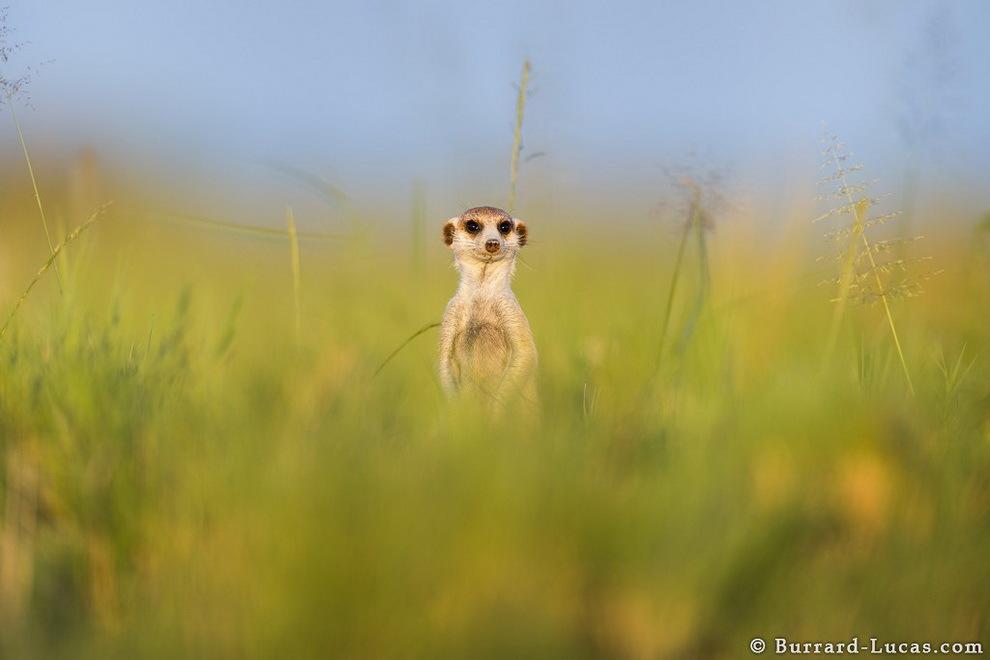 smelie-surikati-13