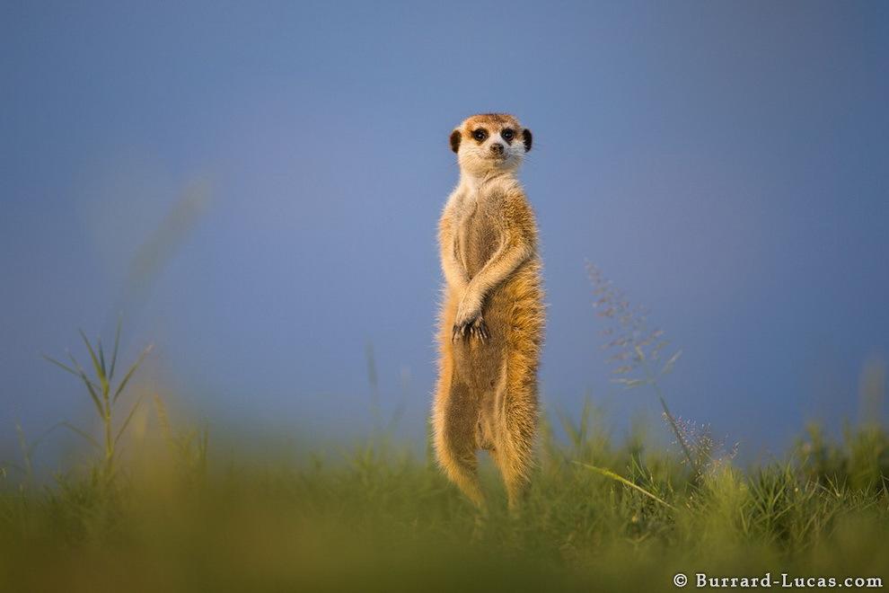 smelie-surikati-14