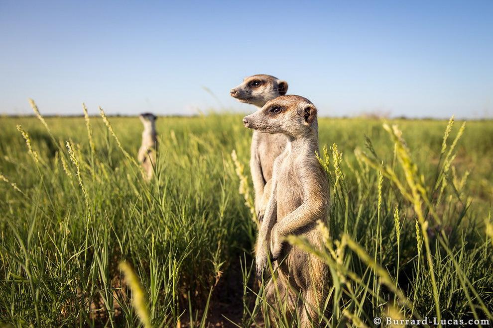 smelie-surikati-16