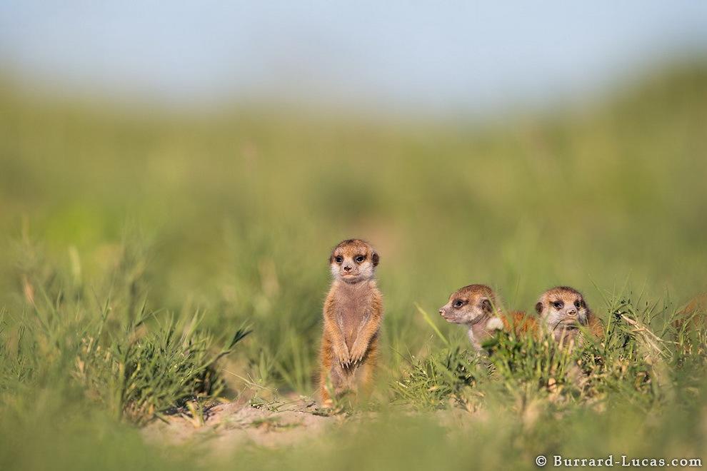 smelie-surikati-17