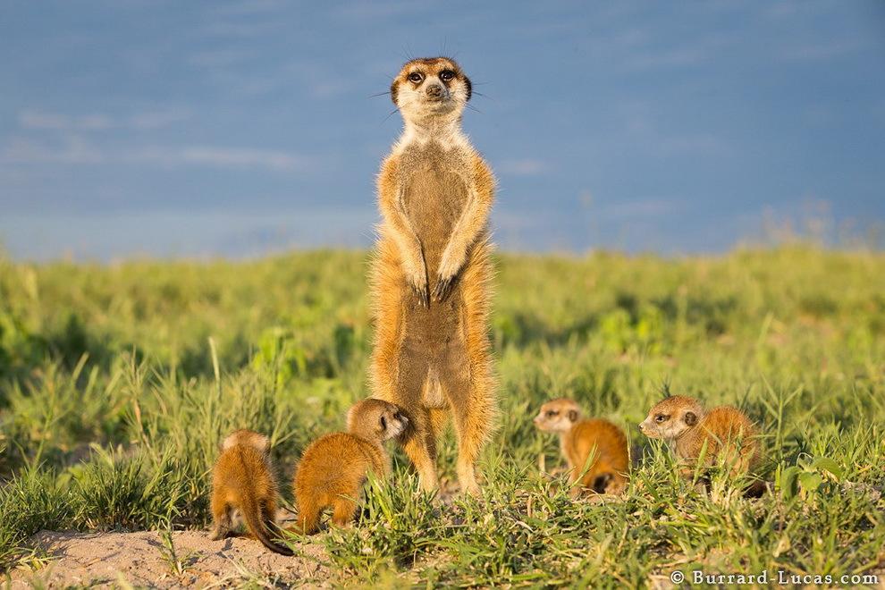 smelie-surikati-18